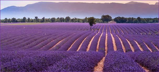Balade dans les champs de lavande de Valensole, au cœur de la Provence